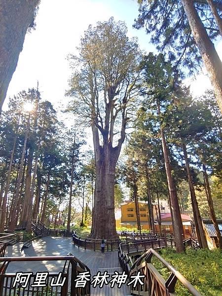阿里山香林神木