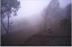 霧濃適合種茶