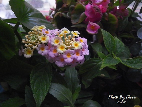 201203_馬櫻丹001