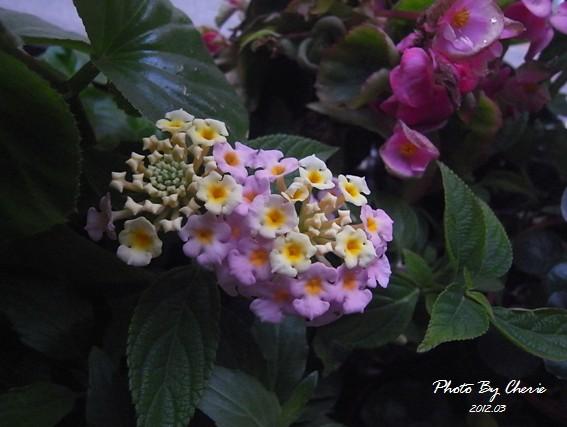 201203_馬櫻丹002