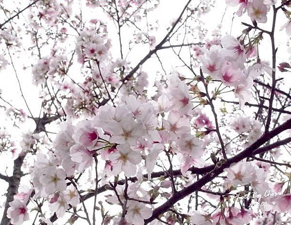 2013陽明山花季002