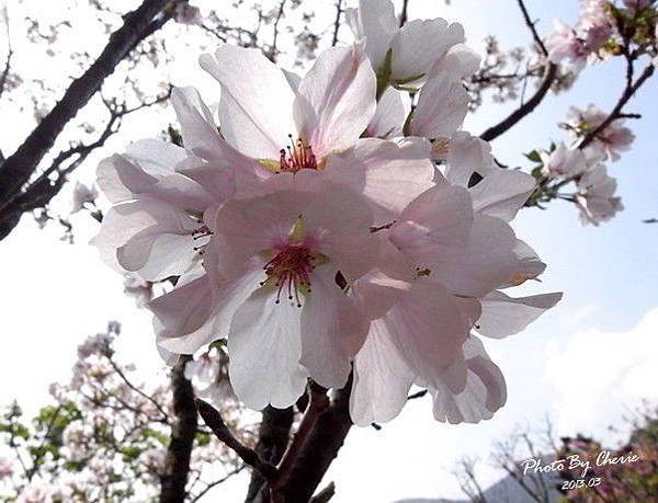 2013陽明山花季004