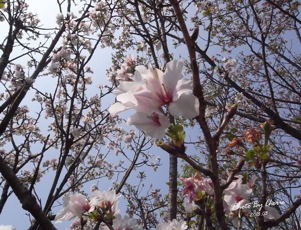 2013陽明山花季003