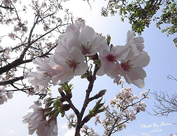 2013陽明山花季005
