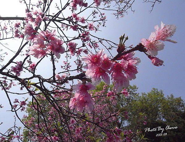 2013陽明山花季008