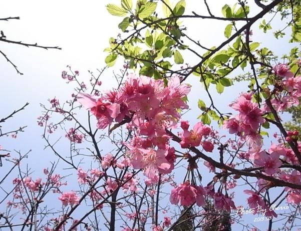 2013陽明山花季007