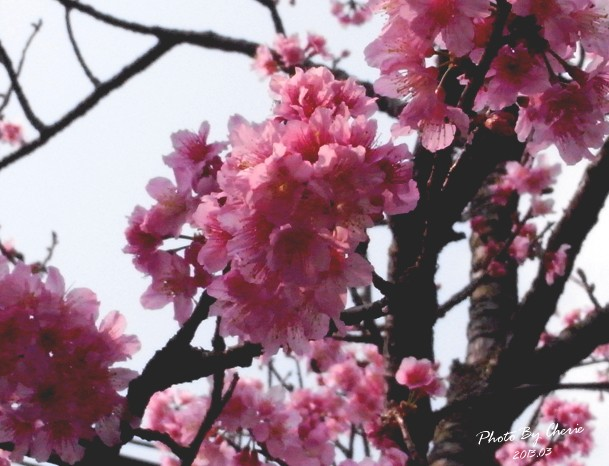 2013陽明山花季011