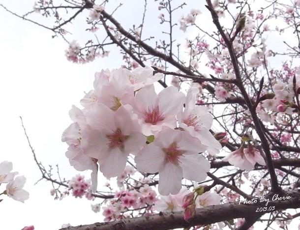 2013陽明山花季010