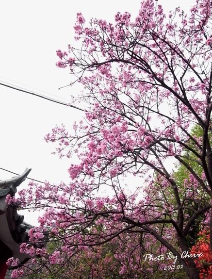 2013陽明山花季016