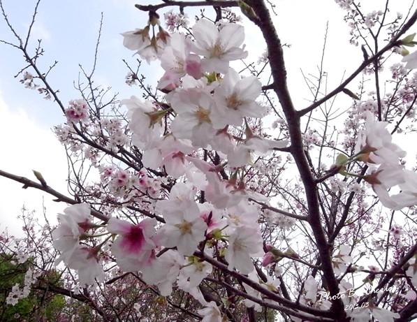 2013陽明山花季018