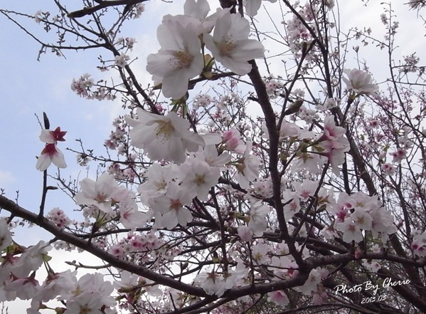 2013陽明山花季019