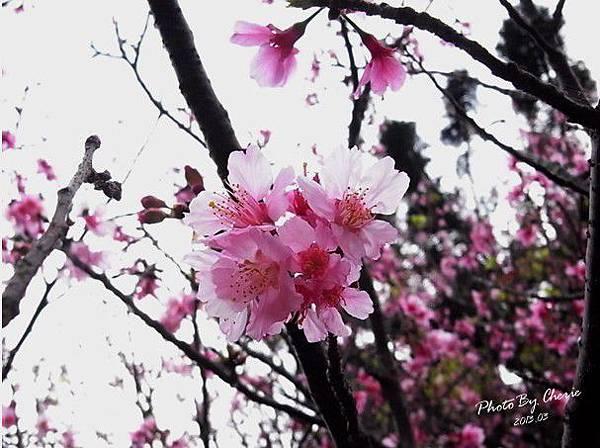 2013陽明山花季024