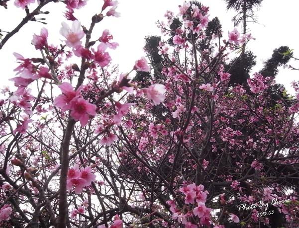 2013陽明山花季023