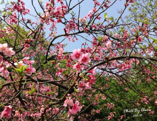 2013陽明山花季030