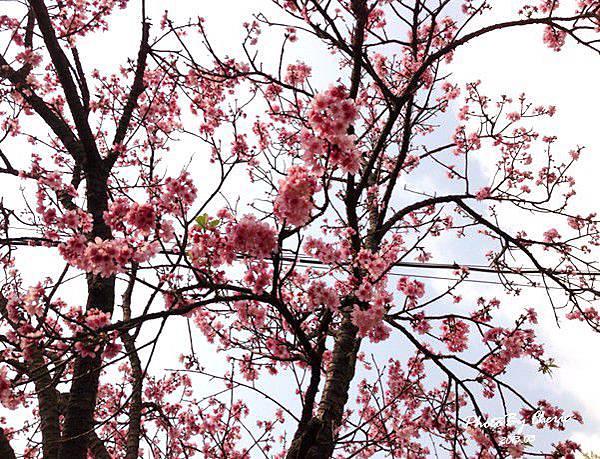 2013陽明山花季041