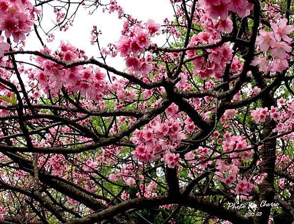2013陽明山花季043
