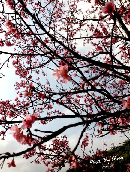 2013陽明山花季042