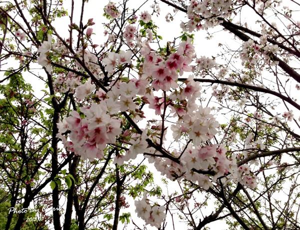 2013陽明山花季046