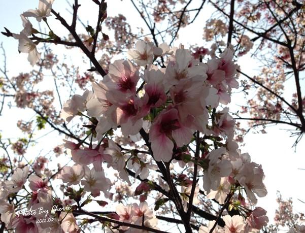 2013陽明山花季047