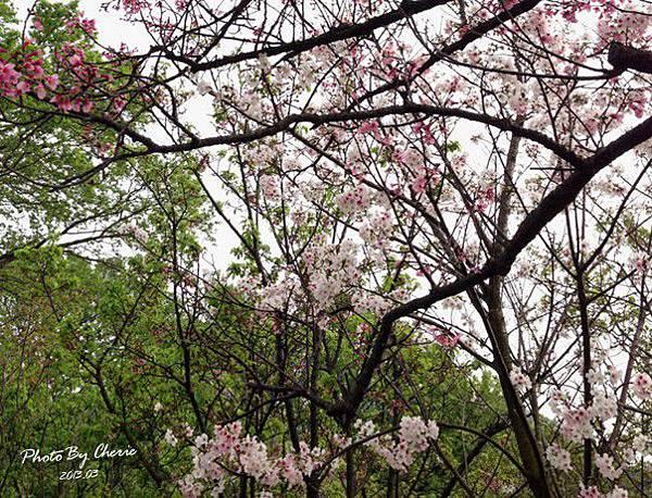 2013陽明山花季048