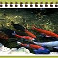 水好清..真的有魚1.jpg