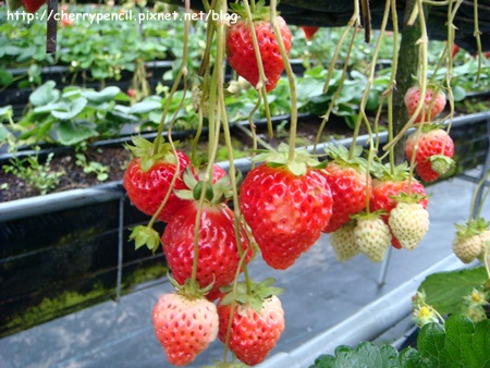 大湖草莓-1