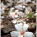 尤其是剛新鮮掉落的桐花,很美~