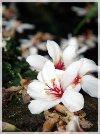 原來桐花是一種充滿氣質的花, 百看不厭啊^^