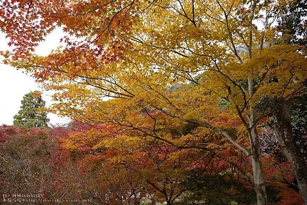 2014御船山賞楓-maple1