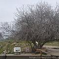 據說這株是老欉的無花果樹,土耳其必買名產之一就是無花果乾! 到底無花果是無花還是無果呢? 其實是有花就沒果、有果就沒花。