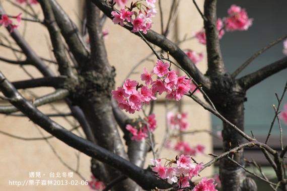 冬櫻 (1).JPG