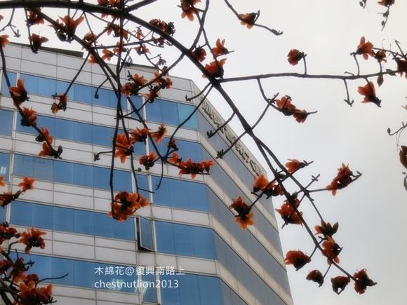 2013-03-22【木棉紅】三月的火紅花 (2)s.JPG
