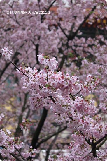 2011-03-13【天元宮櫻花】 (13).JPG