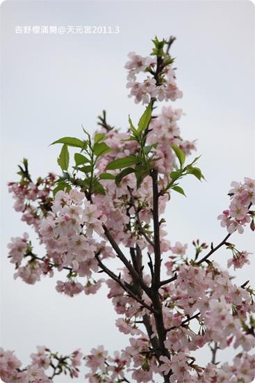 2011-03-13【天元宮櫻花】 (41).JPG