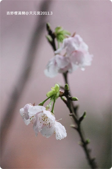 2011-03-13【天元宮櫻花】 (20).JPG