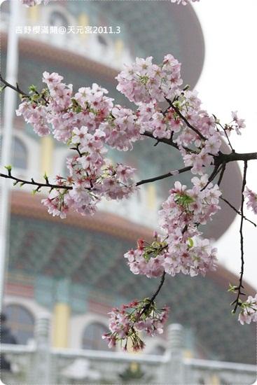 2011-03-13【天元宮櫻花】 (5).JPG