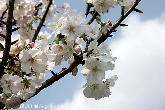 陽明山賞櫻 (4).JPG