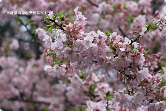 2011-03-13【天元宮櫻花】 (4).JPG