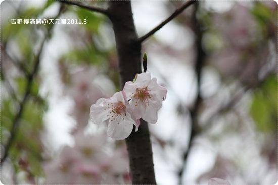 2011-03-13【天元宮櫻花】 (27).JPG