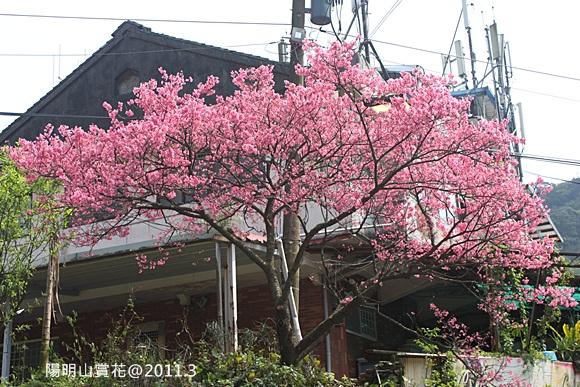 陽明山賞櫻 (1).JPG