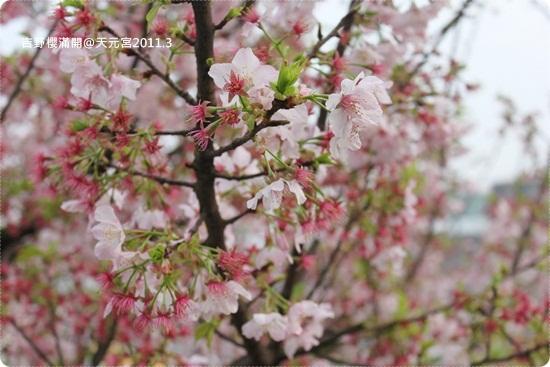 2011-03-13【天元宮櫻花】 (3).JPG