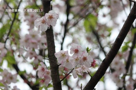 2011-03-13【天元宮櫻花】 (26).JPG