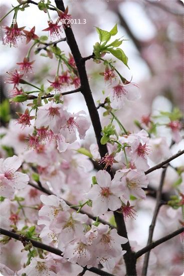 2011-03-13【天元宮櫻花】 (29).JPG
