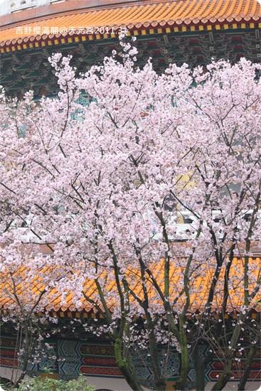 2011-03-13【天元宮櫻花】 (21).JPG