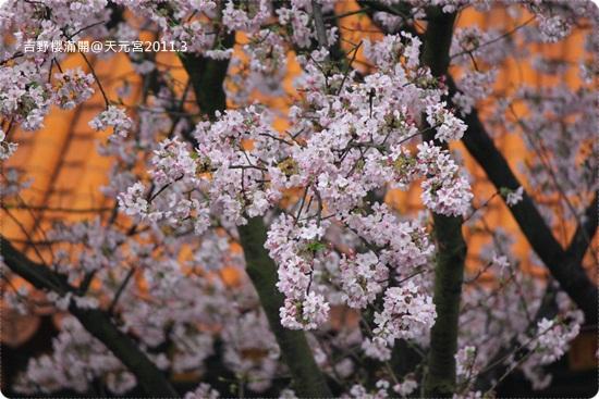 2011-03-13【天元宮櫻花】 (23).JPG