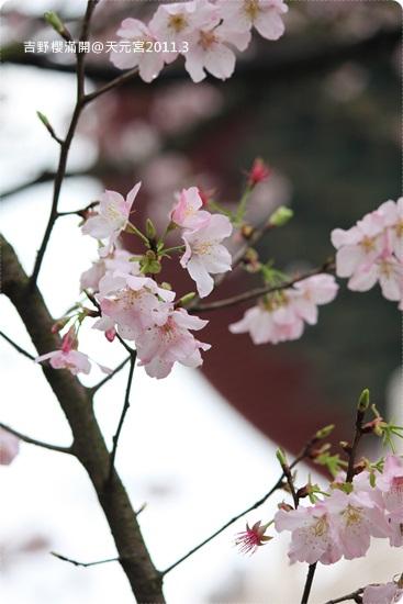 2011-03-13【天元宮櫻花】 (32).JPG