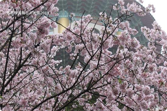 2011-03-13【天元宮櫻花】 (24).JPG