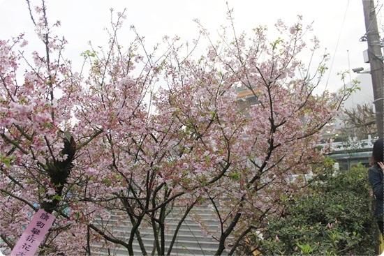 2011-03-13【天元宮櫻花】 (2).JPG