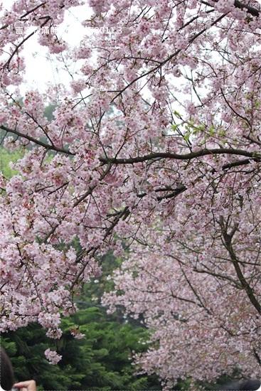 2011-03-13【天元宮櫻花】 (11).JPG