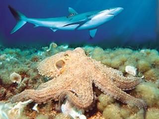 章魚 吞掉 鯊魚 - 章魚吞掉鯊魚 影片.jpg